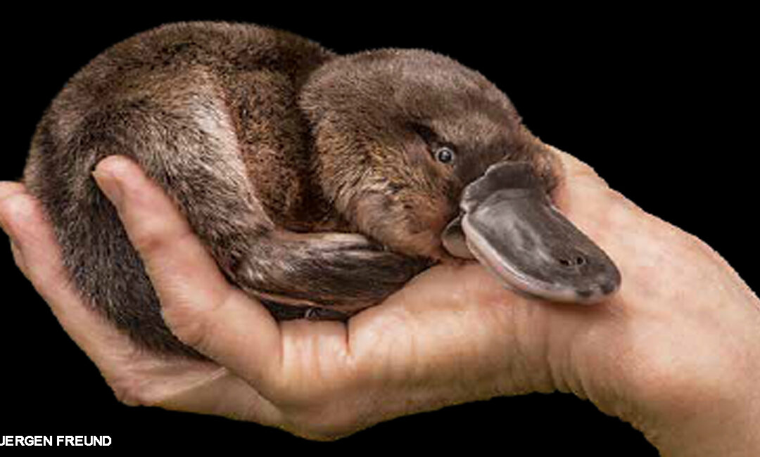Happy Platypus in a hand